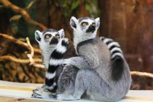 Lemurenaffen im Thüringer Zoopark Erfurt bewundern